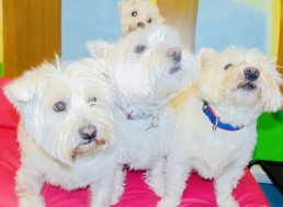 Playroom westies